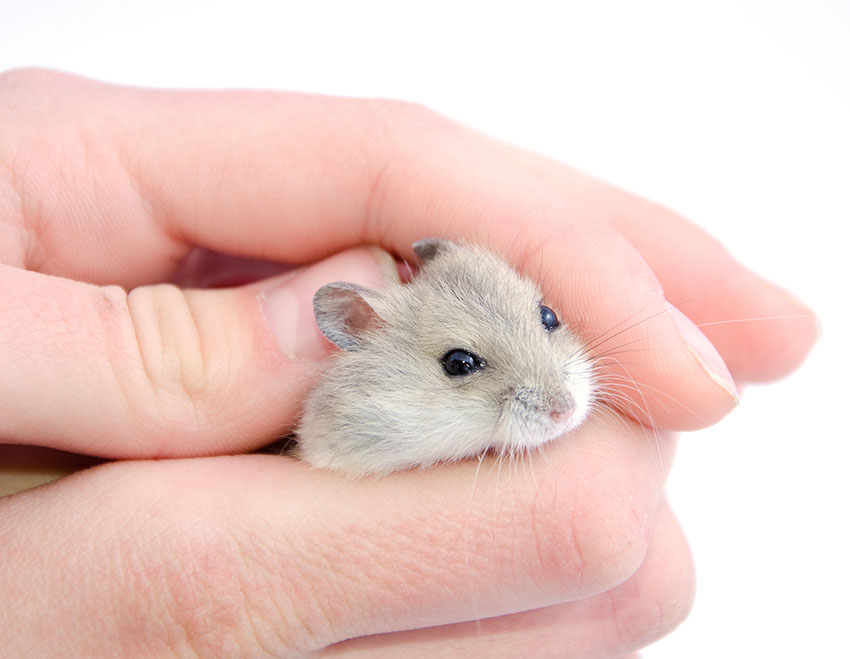 Caring for your new Gerbil