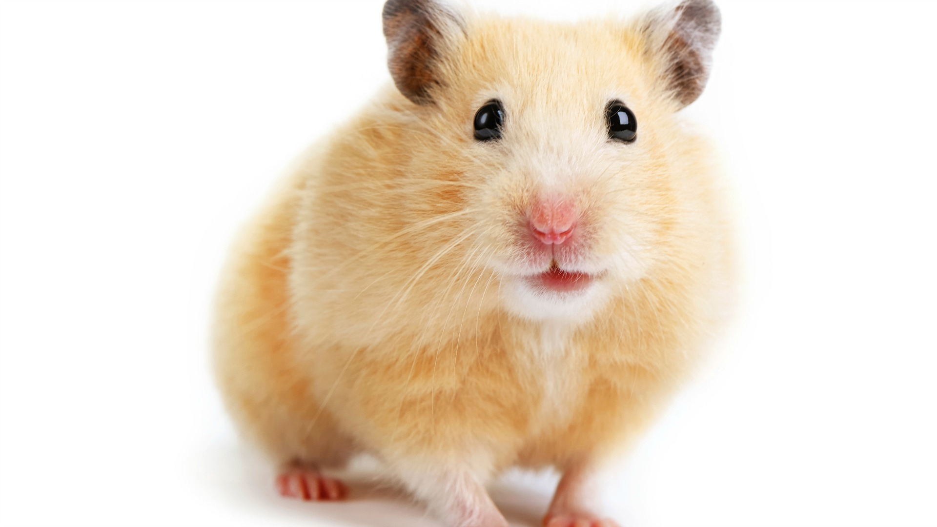 Caring for your new Hamster?